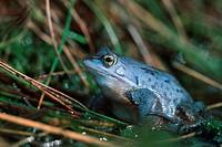 moor frog Rana arvalis.