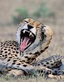 cheetah Acinonyx jubatus, yawning, portrait, frontal, Kenya, Masai Mara