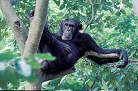 Easthern common chimpanzee Pan troglodytes schweinfurthii, sitting in a tree, Tanzania