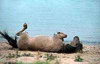 Konik horse Equus przewalskii f. caballus, rolling stallion