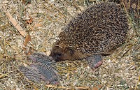 hedgehogs and gymnures Erinaceidae, female with young in nest