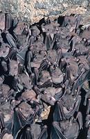 Rousette fruit bats Rousettus spec., Apr 96.