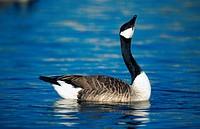 Canada goose Branta canadensis.