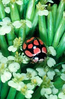 ladybirds, ladybird beetles, lady beetles, ladybugs Coccinellidae, imago, Senegal