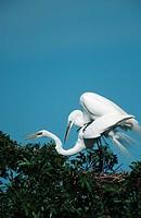 great egret Egretta alba, Mrz 98.