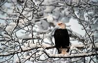 American bald eagle Haliaeetus leucocephalus, Nov 99.