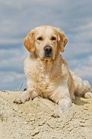 Golden Retriever lying on a sand hill