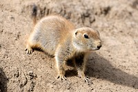 Black-tailed Prairie Dog (Cynomys ludovicianus), young