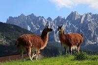 Llamas in Gosau, Salzkammergut region, Upper Austria, Austria, Europe
