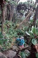 Dendrosenecio adnivalis Dendrosenecio adnivalis, population with wanderer, Uganda, Ruwenzori, Bujuku Hut