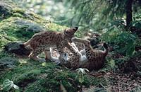 lynx Lynx lynx, Sep 98.