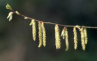 common hornbeam, European hornbeam Carpinus betulus, twig with male catkins, Germany, North Rhine_Westphalia