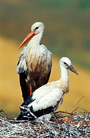white stork Ciconia ciconia, adult with young on nest
