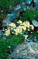 white mountain_saxifrage Saxifraga paniculata, on rock, blooming, Switzerland