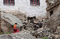 Monk pushing donkey with building sand in the upper part of the Hemis Monastery in Ladakh, Northern India, India, Himalayas