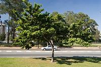 Brazilwood Caesalpinia echinata, Brazil