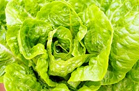The detail of the green fresh lettuce