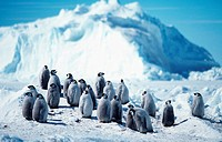 emperor penguin Aptenodytes forsteri, chicks standing together