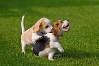 Two Beagle puppies playing