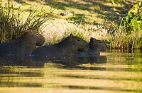Capybara, Palmas, Tocantins, Brazil