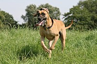 Great Dane running across a meadow