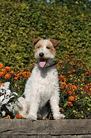 Wire Fox Terrier sitting on a wall in front of flowers