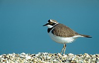 little ringed plover Charadrius dubius, portrait, Germany, North Rhine_Westfalia, Duesseldorf, Maer 04.