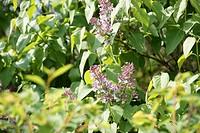 Lilás, Flower, Boissy sous Saint Yon, Essonne, Ile de France, France
