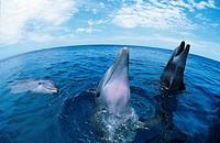 bottlenosed dolphin, common bottle_nosed dolphin Tursiops truncatus.