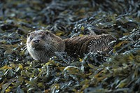 European river otter, European Otter, Eurasian Otter Lutra lutra, amongst kelp on seahore, United Kingdom, Scotland, Island of Mull