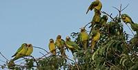 Bird, Jandaia_coquinho, Pantanal, Mato Grosso do Sul, Brazil
