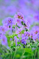 Cranesbills (Geranium spec.)