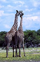 giraffe Giraffa camelopardalis, giraffe couple, Namibia