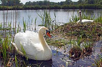 Couple of mute swans Cygnus olor nesting and breeding