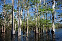 A cypress-tupelo forest in the Atchafalaya River Basin, Bayou Sorrel, Louisiana, USA