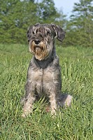 Schnauzer sitting on a meadow