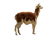 llama Lama glama, cutted out