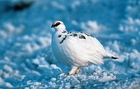 rock ptarmigan Lagopus mutus.