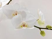 White Orchid Doritaenopsis Taisuco Kaaladian orchid originating in Costa Rica