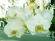 White orchid, São Paulo, Brazil