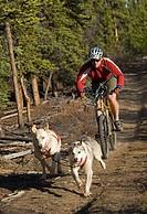 Alaskan Huskies, man bicycling, dry land sled dog race, mountain bike, Yukon Territory, Canada, North America