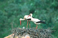 white stork Ciconia ciconia, pair on nest, Spain