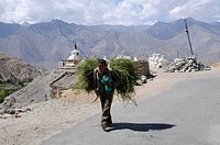 Farmer carrying fodder for winter storage to the village on Phiyang Monastery, Ladakh, India, Himalayas, Asia