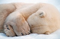 polar bear Ursus maritimus, sleeping in snow, Canada, Hudson Bay, Churchill area