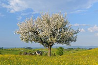 apple tree Malus domestica, blooming apple tree in a spring meadow, Switzerland