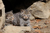 Young Wildcat (Felis silvestris) exploring the environment