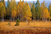Moorland with birchtrees, wood, colours of autumn, Czech Republic, NP Sumava