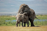 Elephants mating, Amboseli, Africa