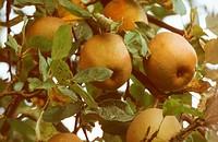 apple tree Malus domestica ´Boskoop´, Malus domestica Boskoop, apples