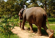 Asiatic elephant, Asian elephant Elephas maximus, with rider in tropical rain forest, Thailand